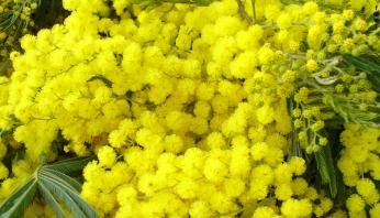 mimosa-festival-France-Oleron
